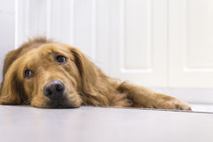 The golden retriever lying on the floor Stock Photography