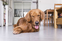 The golden retriever lying on the floor Royalty Free Stock Image