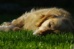 Golden Retriever lying. On grass in the meadow royalty free stock image