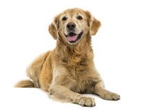Golden Retriever lying, panting, 11  years old, isolated Stock Photos