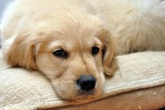 Golden retriever lying puppy Royalty Free Stock Photography