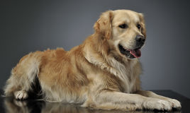 Golden Retriever lying in the studio with a gray background. Golden Retriever lying in the studio with gray background Stock Image