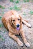 Golden retriever 6 månad gammal valp Royaltyfri Fotografi