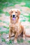 Golden retriever 6 månad gammal valp Arkivfoto