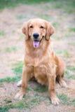 Golden retriever 6 månad gammal valp Royaltyfri Bild