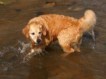 Golden Retriever ma zabawę w morzu fotografia royalty free