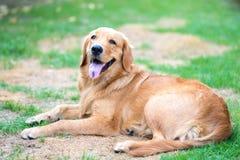 Golden retriever 6 maand oud puppy Stock Afbeelding