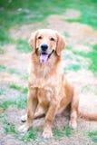 Golden retriever 6 maand oud puppy Stock Afbeeldingen