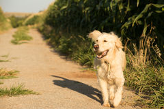 Golden retriever marchant le long de la route de gravier Images stock