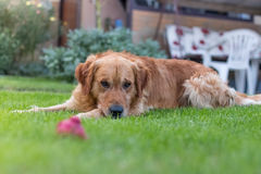 Golden retriever Marcus is tired Stock Photography