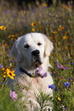 Golden retriever in meadow Stock Images