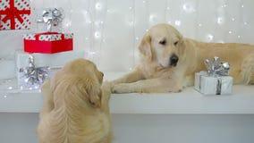 Golden retriever met Kerstmisgiften stock video