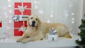 Golden retriever mit Weihnachtsgeschenken stock video