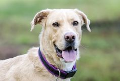 Yellow Labrador, Great Dane, Collie mixed breed dog