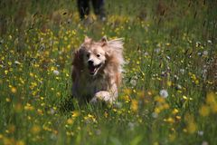 Golden retriever mix is running between yellow flowers. Beautiful Golden retriever mix is running between yellow flowers in the meadow Royalty Free Stock Images