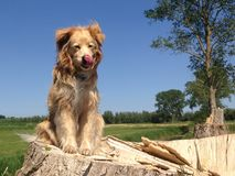 Golden retriever mix is sitting on the stump. Beautiful Golden Retriever mix is sitting on the stump and waiting - wonderful blue sky and nature background Stock Photos