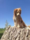 Golden retriever mix is sitting on the stump and looks down. Beautiful Golden Retriever mix is sitting on the stump and looks down - wonderful blue sky Royalty Free Stock Photo