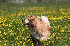 Golden retriever mix stands between yellow flowers. Beautiful Golden retriever mix stands between yellow flowers in the meadow Royalty Free Stock Image