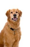 Golden Retriever Mix on White Background Stock Photos