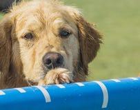 Golden retriever mojado con la pata en la piscina de salto para los perros del muelle Imagen de archivo