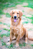 Golden Retriever 6 month old puppy Stock Photo
