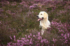 Golden Retriever in Moor Stock Photo