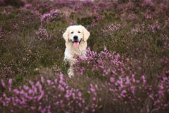 Golden Retriever in Moor Stock Image