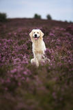 Golden Retriever in Moor Stock Photography