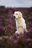 Golden Retriever in Moor Stock Images