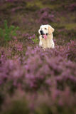 Golden Retriever in Moor Royalty Free Stock Photography