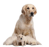 Golden Retriever mother, 5 years old, nursing Royalty Free Stock Photo