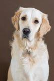 Golden retriever na brown tle fotografia royalty free