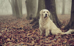 Golden retriever na floresta colorida Imagens de Stock Royalty Free