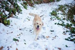 Golden retriever na floresta nevado Imagem de Stock Royalty Free