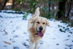 Golden retriever na floresta nevado Fotos de Stock