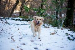 Golden retriever na floresta nevado Fotografia de Stock Royalty Free