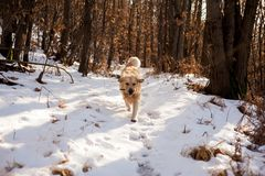 Golden retriever na floresta nevado Foto de Stock Royalty Free