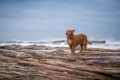 Golden retriever na praia Foto de Stock