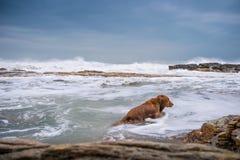 Golden retriever na praia Fotos de Stock Royalty Free
