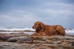 Golden retriever na praia Imagens de Stock Royalty Free