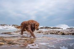 Golden retriever na praia Imagem de Stock Royalty Free