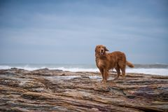 Golden retriever na praia Fotografia de Stock Royalty Free