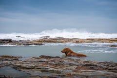 Golden retriever na praia Fotografia de Stock