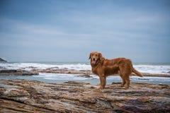 Golden retriever na praia Imagens de Stock