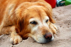 Golden retriever napping Stock Photo