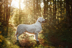 Golden retriever nas madeiras Fotos de Stock Royalty Free