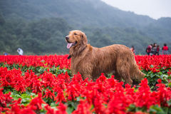 Golden retriever nei fiori Immagine Stock