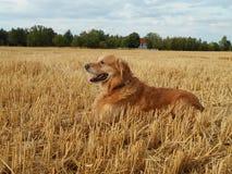 Golden retriever nel campo di mais fotografia stock libera da diritti