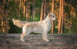 Golden retriever nella foresta Fotografie Stock Libere da Diritti