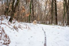 Golden retriever nella foresta nevosa Fotografia Stock Libera da Diritti